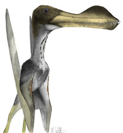 Coloborhynchus