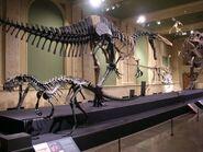 Ceratosaurus mounted