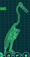 Скелет гесперорнис