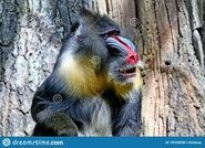 Mandrill-mandrillus-sphinx-mandrills-found-southern-cameroon-gabon-equatorial-guinea-congo-mandrill-mandrillus-sphinx-133358338