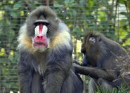 1024px-Mandrill at the San Diego Zoo