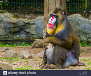 Closeup-of-a-mandrill-monkey-large-primate-with-a-colorful-nose-vulnerable-animal-specie-from-cameroon-africa-W2Y38T