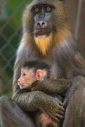 LA-Zoo-Female-Mandrill-Baby-Photo-by-Jamie-Pham-683x1024