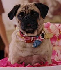 Sebastian (Beverly Hills Chihuahua)