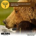 Bears Did You Know Fact 1