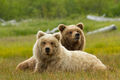 Bears-movie-disneynature