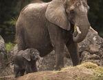 Elephant Calf Kilimanjaro Safaris 01