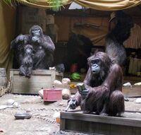 Cruise Gorillas