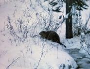 1950-castors-2