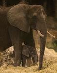 Elephant Calf Kilimanjaro Safaris 04