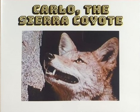 Carlo, the Sierra Coyote