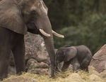 Elephant Calf Kilimanjaro Safaris 02