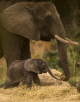 Elephant Calf Kilimanjaro Safaris 03