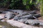 Disney-Animal-Kingdom-Crocodiles-7948