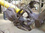 Boneyard Triceratops