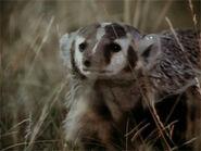 1975-badger-blaireau-02