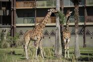 Giraffe AK Lodge 02