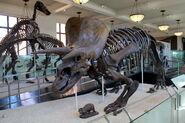 AMNH Triceratops