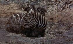Duchess the zebra.jpg