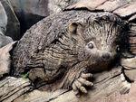 ToL Hedgehog