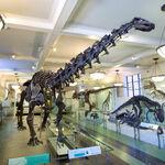 AMNH Apatosaurus