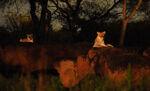 Lions Kilimanjaro Safaris Night 01