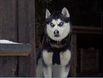 Demon-snow-dogs
