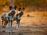 Cape Dogs