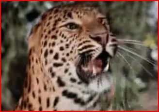 Jaguar (In Search of the Castaways)