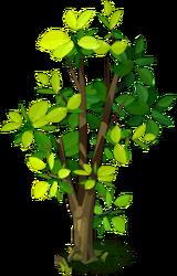 Walnut (tree)
