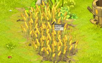 Wheat (plant).jpg