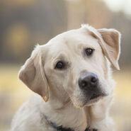 Labrador-Retriever-head-wallpaper-1