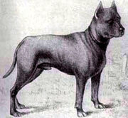 Blue-paul-terrier2.jpg
