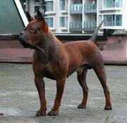 Chinese Chongqing Dog (1).jpg