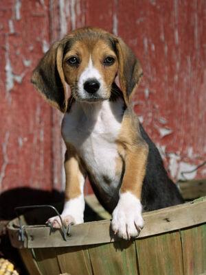 A cute beagle puppy.