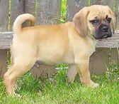 Puggle puppy1.jpg