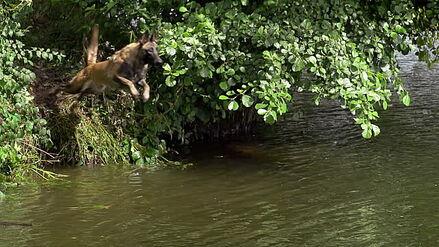 Belgian Malinois Jumping into River