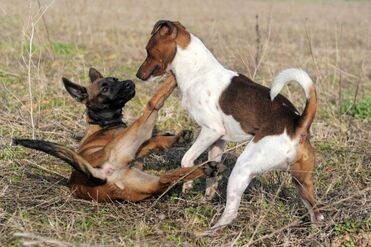 Belgian Malinois and Jack Russell Terrier Playing