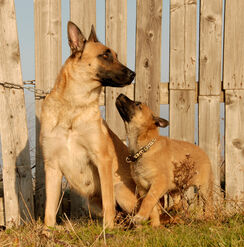 Belgian Malinois - Adult and Puppy