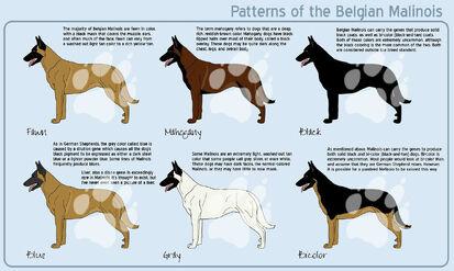 Belgian Malinois Coat Color