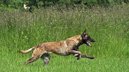 Belgian Malinois Running in Field