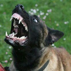 Belgian Malinois Barking