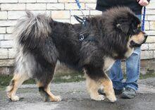 Tib Mastiff.jpg