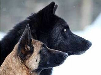Belgian Malinois and Wolf