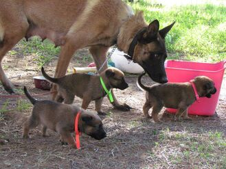Belgian Malinois - Adult and Puppies