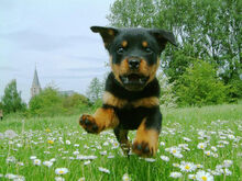 Dogs-dogs-puppy-of-rottweiler-is-flying.jpg