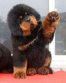 Funny-tibetan-mastiff.jpg