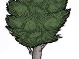 Birchnut Tree