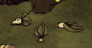 Different mandrakes