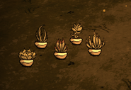 Potted Succulent Variants